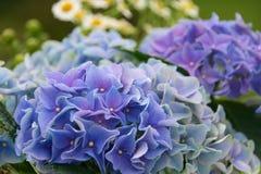Hortensia avec l'asteraceae Photo libre de droits