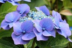 Hortensia azul Imágenes de archivo libres de regalías