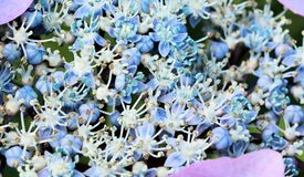 Hortensia azul Imagen de archivo libre de regalías