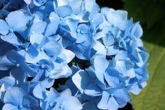 Hortensia azul Fotografía de archivo