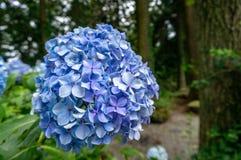 Hortensia azul con un bosque en el fondo foto de archivo