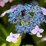 Hortensia azul del lacecap Imagen de archivo libre de regalías