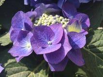 Hortensia azul en cierre para arriba Imágenes de archivo libres de regalías