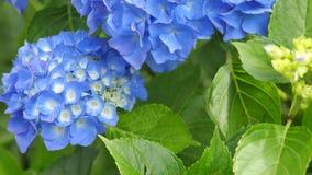 Hortensia azul en el primer verde del fondo Fotografía de archivo libre de regalías