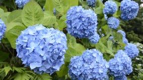Hortensia azul espaciada Foto de archivo