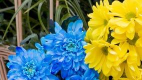 Hortensia azul y amarilla Imagen de archivo