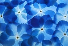Hortensia background Royalty Free Stock Images