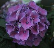 Hortensia. A beautiful blue hortensia hydrangea Royalty Free Stock Photo