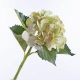 Hortensia blanc d'isolement sur le blanc Photographie stock