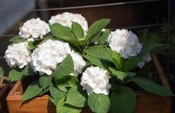 Hortensia blanc dans un pot Images libres de droits