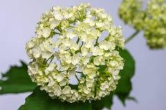 Hortensia blanca de la flor delicada en fondo ligero Fotos de archivo