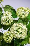 Hortensia blanca de la flor delicada en fondo ligero Foto de archivo