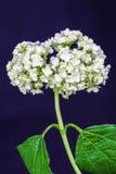 Hortensia blanca de la flor delicada en fondo oscuro Fotos de archivo libres de regalías