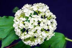Hortensia blanca de la flor delicada en fondo oscuro Imagen de archivo libre de regalías