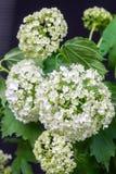Hortensia blanca de la flor delicada en fondo oscuro Imágenes de archivo libres de regalías