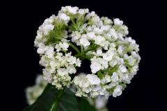 Hortensia blanca de la flor delicada en fondo oscuro Foto de archivo libre de regalías