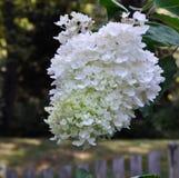 Hortensia blanca grande Fotografía de archivo