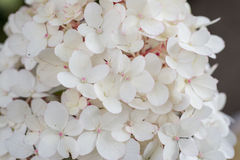 Hortensia blanco Foto de archivo libre de regalías