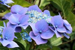 Hortensia bleu Photos stock