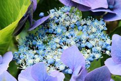 Hortensia bleu Photo stock