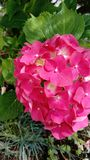 Hortensia in bloom royalty free stock images