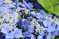 Hortensia blue Stock Photography