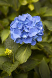 Hortensia. Royalty Free Stock Images