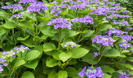 Hortensia blue - Hydrangea macrophylla `Blaumeise` Royalty Free Stock Photo