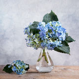 Hortensia-Blumen Lizenzfreie Stockfotos