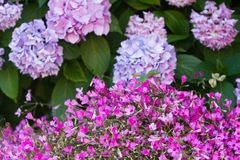 Hortensia bush and a lot of clover little pink flowers stock photo