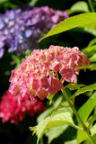 Hortensia close. Close up shrub of Hydrangea macrophylla, ornamental plant from Japan. Its rich foliage and large size make it a wonderful background for white Royalty Free Stock Photography