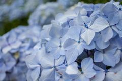 Hortensia closeup photo stock image