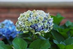 Hortensia Cluster Flower immagini stock