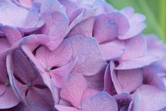 Hortensia coloreada caramelo Fotografía de archivo