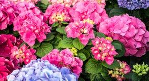Hortensia cor-de-rosa e ciano grande na estufa fotografia de stock royalty free