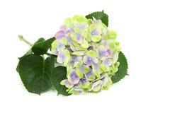 Hortensia d'isolement sur le fond blanc Photos stock