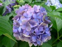 Hortensia de Blossming en Japón en verano Fotografía de archivo libre de regalías