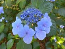Hortensia de Blossming en Japón en verano Foto de archivo libre de regalías