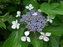 Hortensia de Blossming en Japón en verano Imagen de archivo libre de regalías