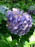 Hortensia de Blossming en Japón en verano Fotos de archivo libres de regalías