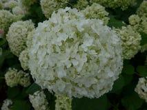 Hortensia de Blossming en Japón en verano Imagenes de archivo