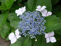 Hortensia de Blossming en Japón en verano Foto de archivo