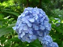 Hortensia de Blossming en Japón en verano Fotos de archivo