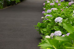Hortensia de coin de la rue photos stock