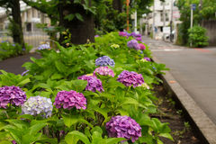 Hortensia de coin de la rue photo libre de droits