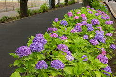 Hortensia de coin de la rue photo stock
