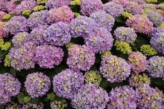Hortensia de floraison dans différentes couleurs dans le jardin pendant l'été Photo stock