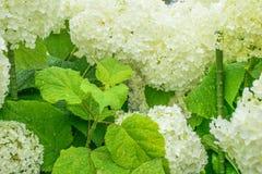Hortensia de la flor Fotografía de archivo libre de regalías