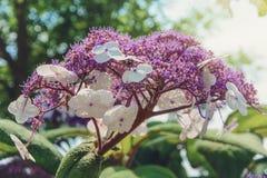 Hortensia de la flor de la inflorescencia en el sol Fotos de archivo