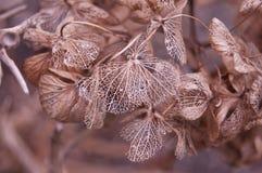 Hortensia del cordón del otoño foto de archivo libre de regalías